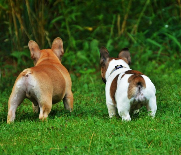 Reservation Information Northen Bullyes French Bulldogs